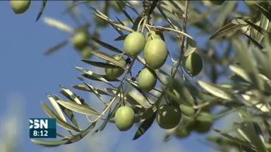 Comienza la campa�a de aceite de oliva