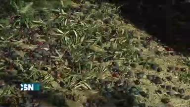 Corta campa�a del olivar