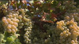 C�rdoba teme por los precios de la uva