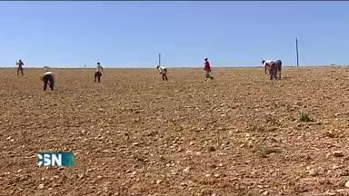 Mala cosecha de esp�rragos por el fr�o en Granada